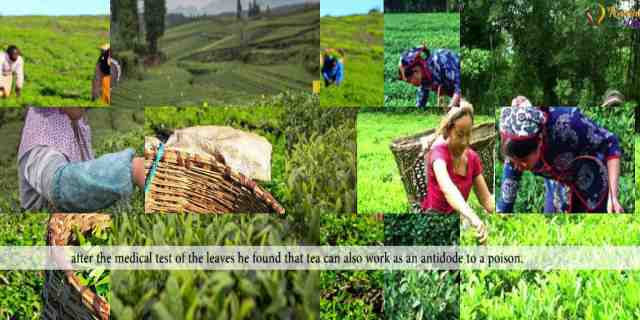 TEA | History of Tea |China |India| Srilanka